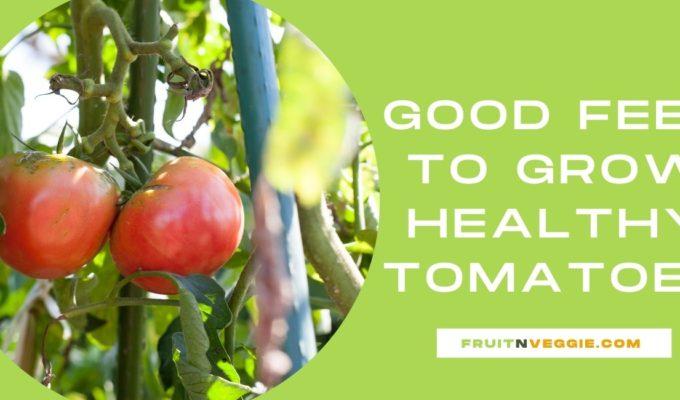 Feeding tomatoes